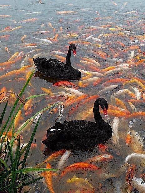 An incredible photo of black swans swimming through koi fish filled water.