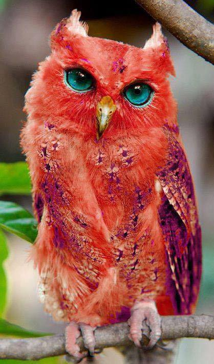 Beautiful red Madagascar owl :o