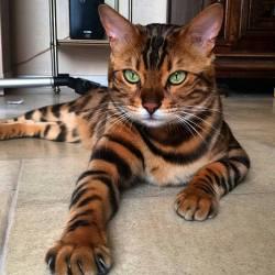 Bengali cat Thor..