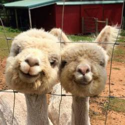 Just two alpacas smiling for a photo… <3