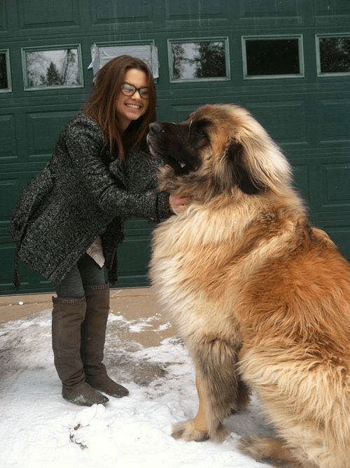 Meet Simba, a Leonberger. These magnificent dogs can weigh 170 pounds, but are incredibly discip ...