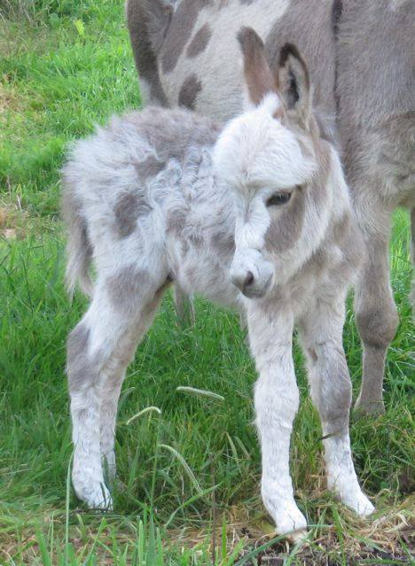 """Micro Mini Donkeys""  Just way too cute!"