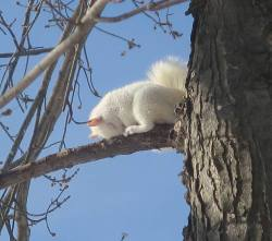 My wife just shot this picture of a sleepy albino squirrel.