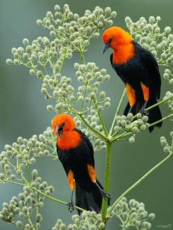 Scarlet-headed Blackbirds in the Pantanal, Brazil