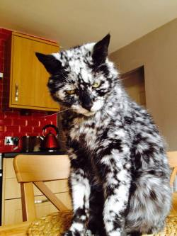 Scrappy was born in 1997 as a black cat and only a few years ago he started turning white (maybe ...