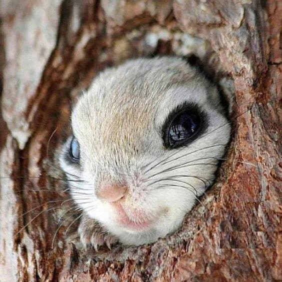 Siberian flying squirrel pokes his head out to say hello. It's a perfect fit ;) :*