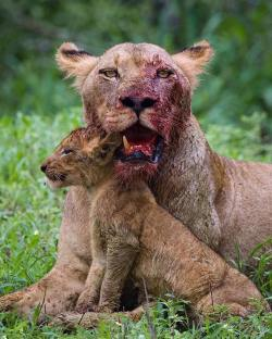 This mother will do anything to protect her cub, even with a tooth missing after a fierce rival  ...