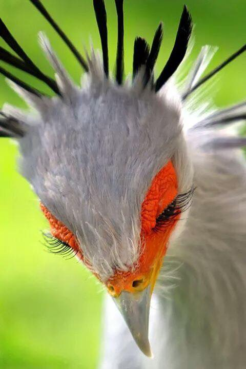 Those eyelashes!  Secretarybird (Sagittarius serpentarius)