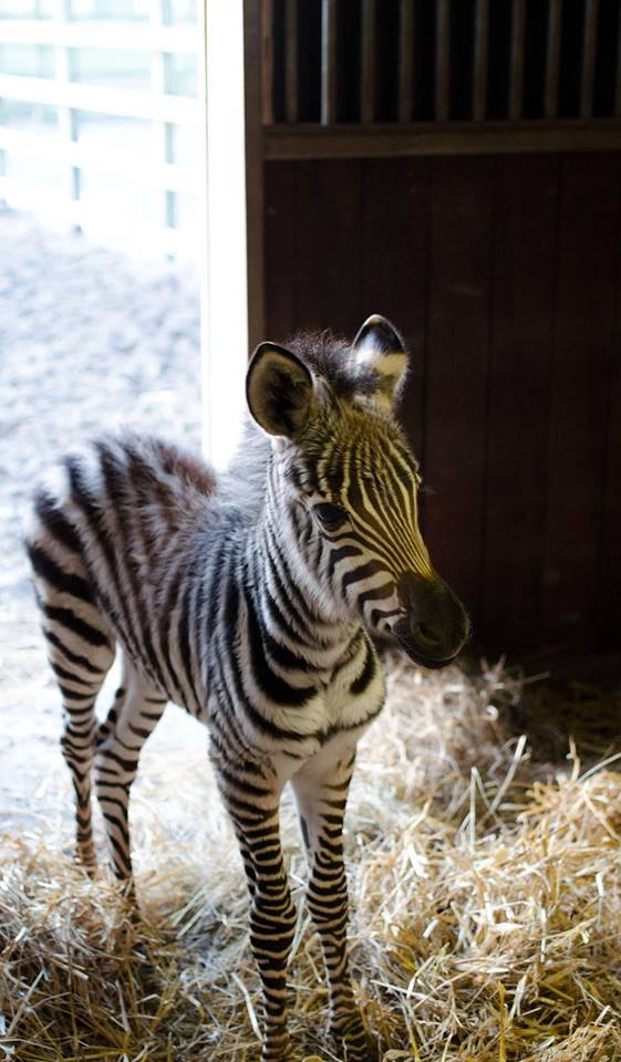 Two-day-old zebra <3