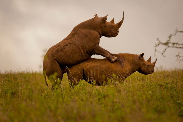 Rhinos-kenya