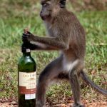 Boozy chimps use own tools to obtain alcohol from palm trees in West Africa
