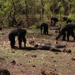 Rise of the Planet of the Apes: Chimps beat up, murder and then cannibalise their former tyrant