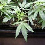 States Push Forward On Marijuana Legalization Despite Federal Uncertainty