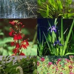 Some plants that are beneficial to buffer zones: Native sedges and rushes, Pickerelweed, Blue Flag iris, Swamp milkweed, Lizard's Tail, Cardinal flower