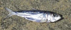 Alewife, (Photo Credit: Phil Moy, Wisconsin Sea Grant)
