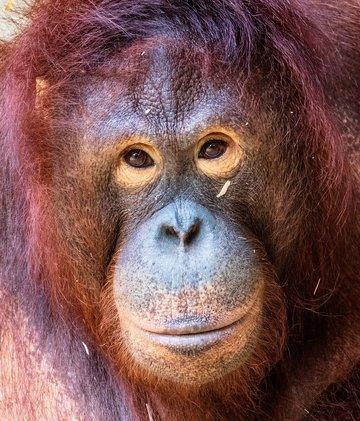 thrd_orangutan-3508399_1920