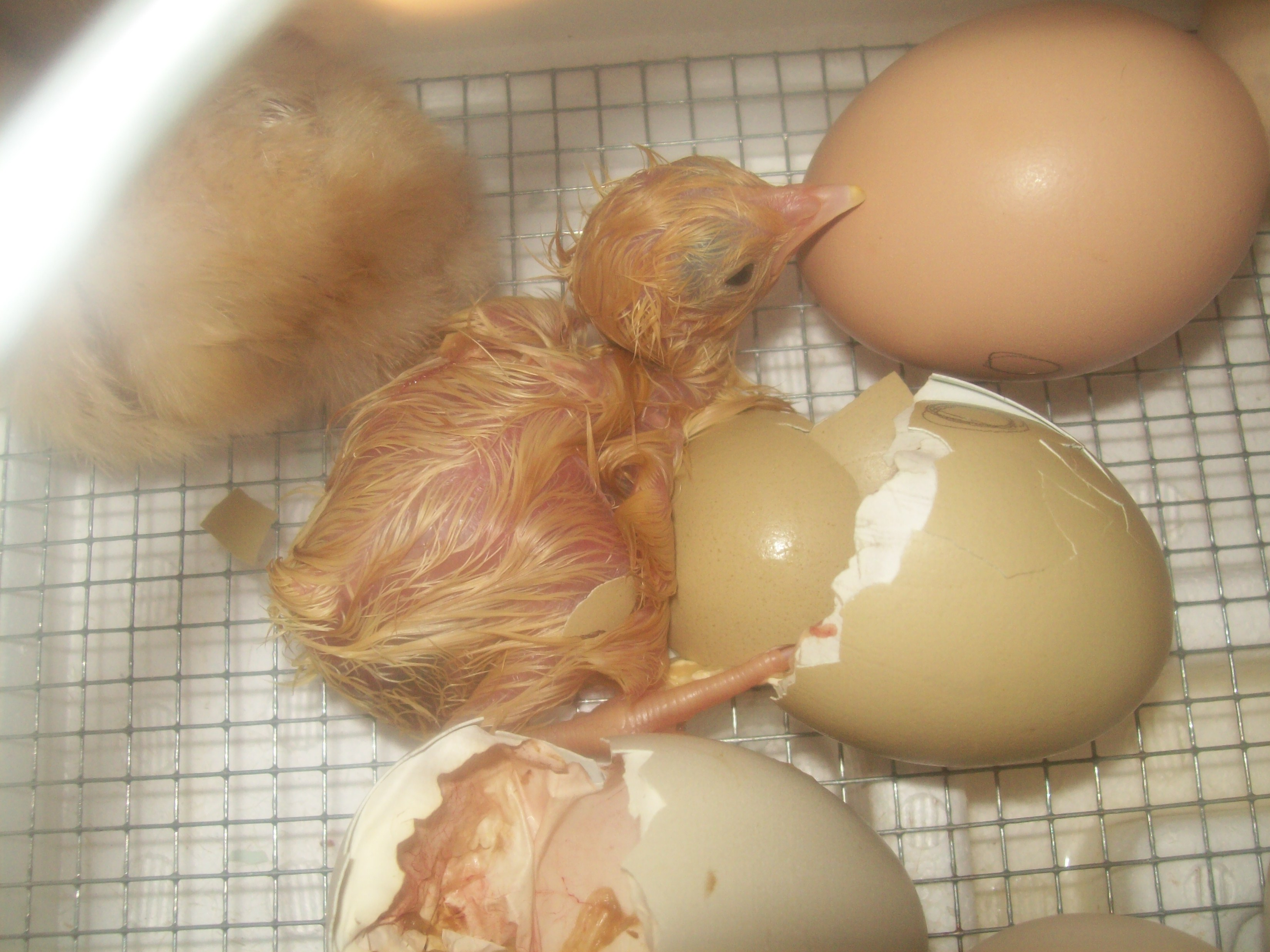 hatched-chick