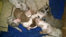 Catahoula Puppies 16 days eating sorta