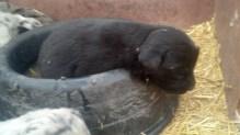 M2 Black Bear 4 weeks