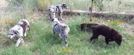 Aussie Pups 20160824