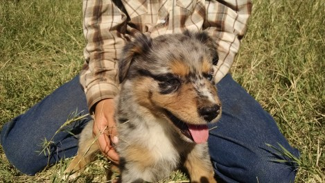 Blue Merle Tri Female #1