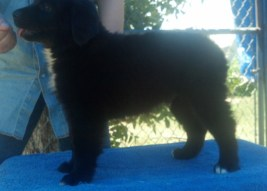M2 BlackBear 9 weeks