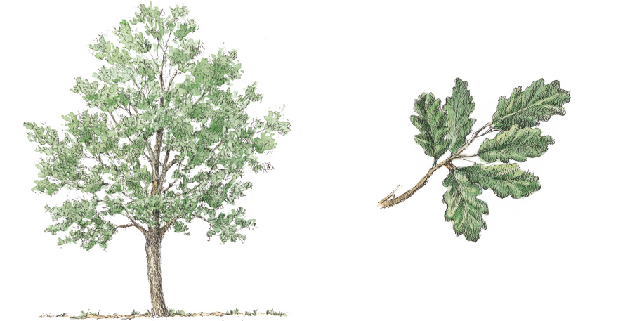 Downy Oak (Quercus pubescens)