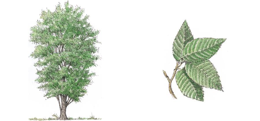 carpino-nero