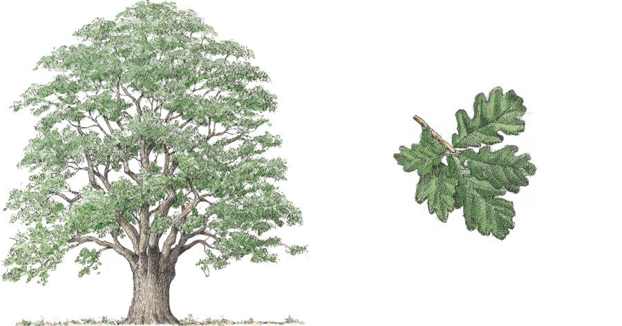 Farnia (Quercus robur)