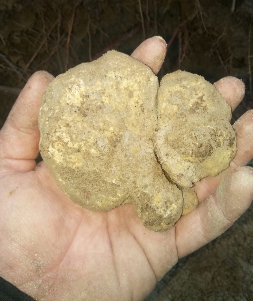 White truffle from Montechiaro