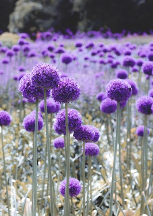 bouquet, allium, flower garden, nature
