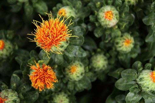 bouquet, safflowers, flower garden, nature