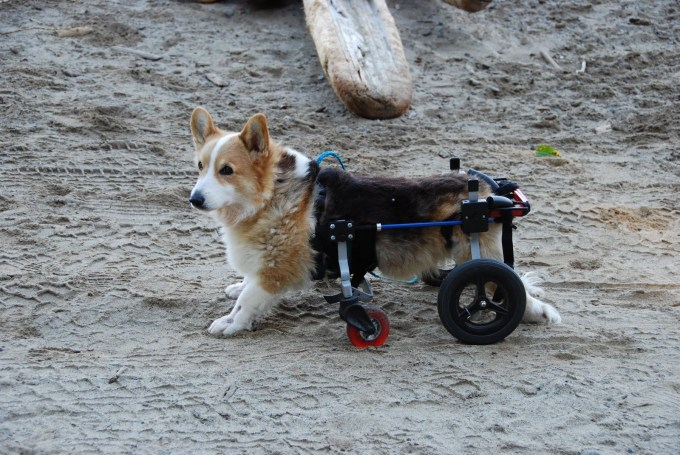 Who knew #Wheelcorgis are a thing?