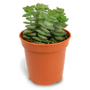 Succulent of the Week (1/6)