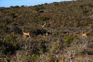 Trumpeters-Drift-Reserve-Impala-2