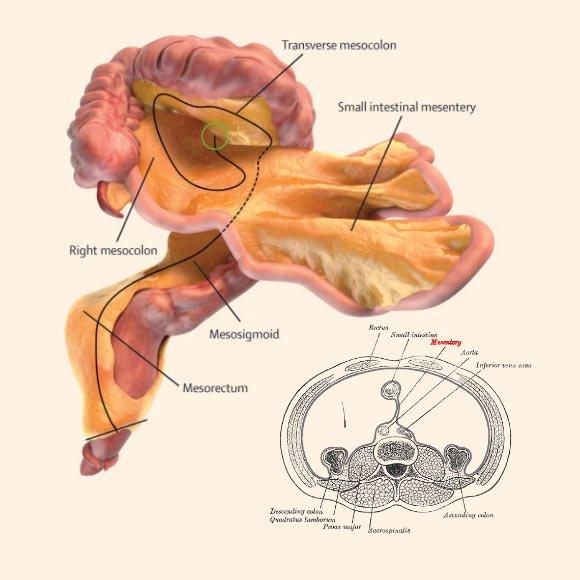 mesentere organe medecine