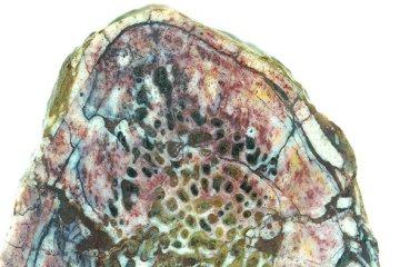 dinosaure tissu mou ossement