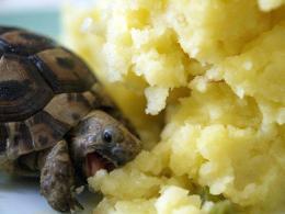 tortoise mashed potato