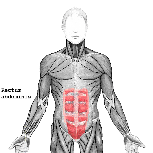 How many rectus abdominal muscles are there?