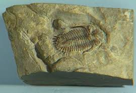common fossil