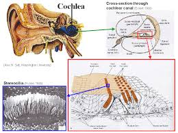 Cochlea of the ear anatomy