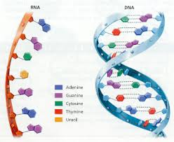 DNA RNA structural differences