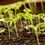 Seedlings wallpaper