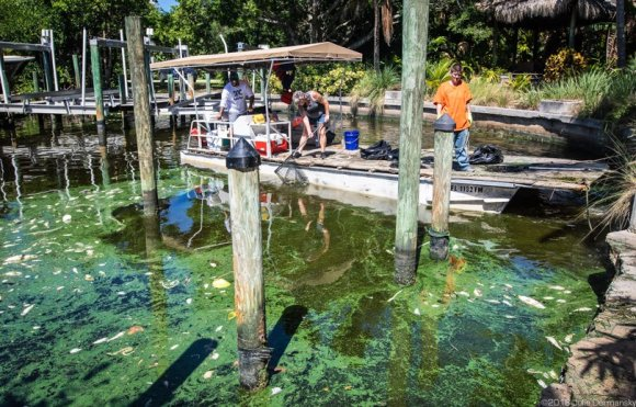 Temporary workers make $12.50 an hour, cleaning up a fish kill in a canal on Sanibel Island caused by cyanobacteria.