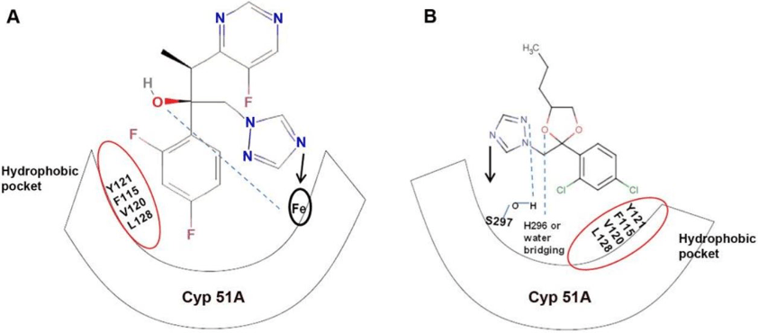 Diagram showing similar mode of action in triazoles between medical (A) and agricultural (B) applications.