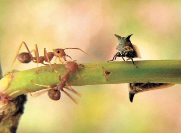 Муравьи и цикады-горбатки