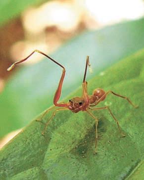 Паук, мимикрирующий под муравья