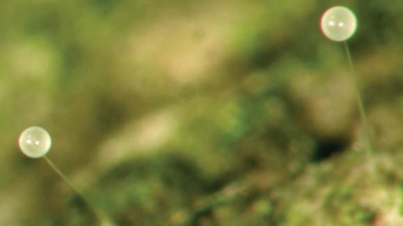 ...и ее сперматофоры (www.gurumed.org)