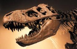 Череп Tyrannosaurus rex, Palais de la Decouverte, Paris. Фото DaWd Monniaux с сайта Wikipedia. org