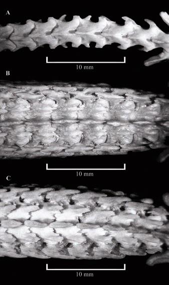 Поясничный отдел Crocidura olivieri, Scutisorex somereni и Scutisorex thori — вид сверху. Фото из статьи